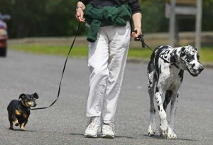 A great Dane and a Dachshund being walked