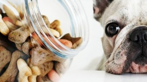 A French Bulldog with a jar of treats