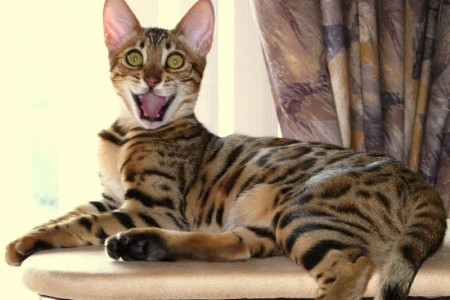 Bengal Cats; Comedians of the Cat World